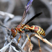 Hunter's Little Paper Wasp - Photo (c) Jimmy Smith, some rights reserved (CC BY-NC-ND)