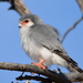 Pygmy-Falcons - Photo (c) copper, some rights reserved (CC BY-NC)
