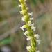 Spiranthes ochroleuca - Photo (c) Denis Doucet, μερικά δικαιώματα διατηρούνται (CC BY-NC)