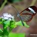 Mariposa Alas de Cristal de Paula - Photo (c) Carlos E. Juárez-Peña, algunos derechos reservados (CC BY-NC)