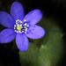 Hepatica nobilis - Photo (c) Jonas Tana, algunos derechos reservados (CC BY-NC-ND)