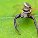 Long-jawed Jumping Spiders - Photo (c) Tibor Nagy, some rights reserved (CC BY-NC)