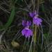 Hemipilia kiraishiensis - Photo (c) Cheng Te Hsu, algunos derechos reservados (CC BY-SA)