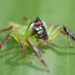 Green Jumping Spider - Photo (c) Sam Fraser-Smith, some rights reserved (CC BY)
