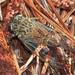 Τζίτζικας - Photo (c) Mary Keim, μερικά δικαιώματα διατηρούνται (CC BY-NC-SA)