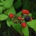 Rubus occidentalis - Photo (c) Joshua Mayer,  זכויות יוצרים חלקיות (CC BY-SA)