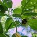 Physalis longifolia subglabrata - Photo no hay derechos reservados