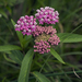 Swamp Milkweed - Photo (c) aarongunnar, some rights reserved (CC BY)