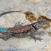 Yarrow's Spiny Lizard - Photo (c) Mike Andersen, some rights reserved (CC BY-NC-ND)