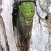 Superb Dog-day Cicada - Photo (c) Chuck Sexton, some rights reserved (CC BY-NC)