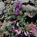 Astragalus purshii lectulus - Photo (c) dgreenberger, alguns direitos reservados (CC BY-NC-ND)