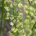 Galium angustifolium - Photo (c) 2005 Keir Morse, algunos derechos reservados (CC BY-NC-SA)