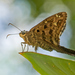 Dorantes Longtail - Photo (c) djhiker, some rights reserved (CC BY-NC)