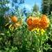 Lilium pardalinum shastense - Photo (c) dgreenberger, algunos derechos reservados (CC BY-NC-ND)