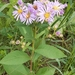 Showy Aster - Photo (c) Leah Luciuk, some rights reserved (CC BY-NC)