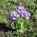 Primula algida - Photo (c) vahemart, algunos derechos reservados (CC BY-SA)