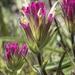 Castilleja lassenensis - Photo (c) Todd Ramsden, algunos derechos reservados (CC BY-NC)