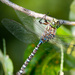Lake Darner - Photo (c) greglasley, some rights reserved (CC BY-NC), uploaded by Greg Lasley
