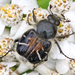 Bee-mimic Beetle - Photo (c) Denis Doucet, some rights reserved (CC BY-NC)