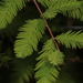 Baldcypress - Photo (c) Judy Gallagher, some rights reserved (CC BY), uploaded by Judy Gallagher