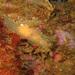 Palio dubia - Photo (c) Asbjørn Hansen,  זכויות יוצרים חלקיות (CC BY-NC-ND)