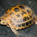 Tortuga Asiática de Cabeza Amarilla - Photo (c) Rejoice Gassah, algunos derechos reservados (CC BY-NC)