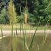 Typha laxmannii - Photo (c) Václav Dvořák, algunos derechos reservados (CC BY-NC)