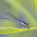 Forktails - Photo (c) Dave McShaffrey, some rights reserved (CC BY-NC)