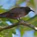 Lesser Noddy - Photo (c) adrien, some rights reserved (CC BY-NC-ND)