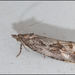Endothenia quadrimaculana - Photo (c) Thijs  Calu, algunos derechos reservados (CC BY-NC-ND)