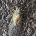 Yezoterpnosia nigricosta - Photo (c) Zack, μερικά δικαιώματα διατηρούνται (CC BY-NC)