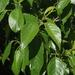 Alnus formosana - Photo (c) Cheng Te Hsu,  זכויות יוצרים חלקיות (CC BY-SA)