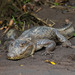 Spectacled Caiman - Photo (c) Rich Kostecke, some rights reserved (CC BY-NC)