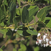 Arctostaphylos insularis - Photo (c) Jerry Oldenettel, algunos derechos reservados (CC BY-NC-SA)