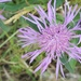 Leathery Knapweed - Photo (c) Chris Harold, some rights reserved (CC BY-NC)