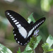 White-banded Swallowtail - Photo (c) avocat, some rights reserved (CC BY-NC)