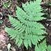 Dryopteris expansa - Photo (c) Samuel Brinker,  זכויות יוצרים חלקיות (CC BY-NC)