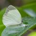 Eurema albula - Photo (c) djhiker,  זכויות יוצרים חלקיות (CC BY-NC)