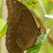 Morpho menelaus menelaus - Photo (c) djhiker, some rights reserved (CC BY-NC)