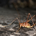 Naxos Cave-Cricket - Photo (c) Stelios ZACHARIAS, some rights reserved (CC BY-NC-SA), uploaded by alfredpimble