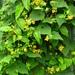 Thladiantha nudiflora - Photo (c) Yaling Lin,  זכויות יוצרים חלקיות (CC BY-NC)