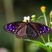 Mariposa Cuervo Listada - Photo (c) Jerry Hsu, algunos derechos reservados (CC BY-NC-SA)