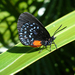 Atala - Photo (c) Scott Zona, some rights reserved (CC BY)