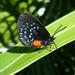 Mariposa Sedosa de Las Cícadas de Florida - Photo (c) Scott Zona, algunos derechos reservados (CC BY)