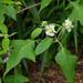 Polymnia canadensis - Photo (c) Tom Potterfield,  זכויות יוצרים חלקיות (CC BY-NC-SA)