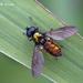 Chloromyia formosa - Photo (c) Marcello Consolo,  זכויות יוצרים חלקיות (CC BY-NC-SA)
