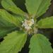 Croton glandulosus septentrionalis - Photo (c) cassi saari, alguns direitos reservados (CC BY-NC)