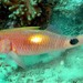 Parupeneus indicus - Photo (c) FishWise Professional,  זכויות יוצרים חלקיות (CC BY-NC-SA)