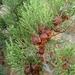Juniperus turbinata - Photo (c) Rafael Medina,  זכויות יוצרים חלקיות (CC BY)