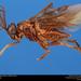 Sphacophilus - Photo Insects Unlocked , δεν υπάρχουν γνωστοί περιορισμοί πνευματικών δικαιωμάτων (Κοινό Κτήμα)